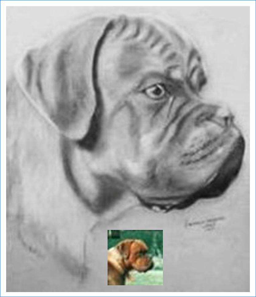 Hooligan (3 ans) Dogue de Bordeaux (fusain)